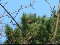 Sosna koreańska (Pinus koraiensis) : Szyszka (2010.04.12)