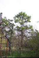 Modrzew europejski (Larix decidua) : Drzewa (26 IV 2010)