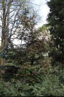 Sekwoja wieczniezielona (Sequoia sempervirens) : Drzewo (27.04.2010)