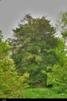 Cis pospolity (Taxus baccata) : zdjęcie aparatem a nie jak poprzednie-komórką ;-)