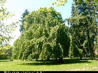 Buk pospolity odm. płacząca (Fagus sylvatica 'Pendula') : Drzewo (2004.06.03)