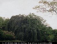 Buk pospolity odm. płacząca (Fagus sylvatica 'Pendula') : Drzewo (1998)