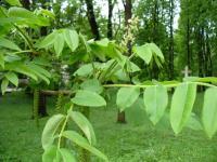 Orzech ajlantolistny (Juglans ailantifolia) : gałązka z kwiatostanem żeńskim i kotkami męskimi (16.05.2010)