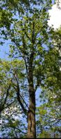 Dąb szkarłatny (?) (Quercus coccinea (?)) : Korona (2010-06-05)