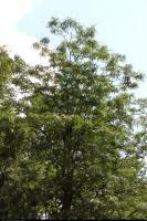 Glediczja trójcierniowa (Gleditsia triacanthos) : Korona (1 lipca 2010)