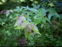 Klon chiński (Acer campbellii spp sinensis) : Liście