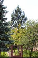 Sosna żółta (Pinus ponderosa) : Drzewo (1 lipca 2010)