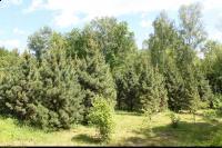Sosna limba (Pinus cembra) : Drzewa (5 czerwca 2010)