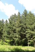 Sosna rumelijska (Pinus peuce) : Drzewa (5 czerwca 2010)