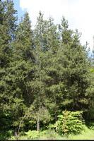 Sosna wydmowa odm. szerokolistna (Pinus contorta var. latifolia) : Drzewa (5 czerwca 2010)