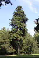 Jodła pospolita (Abies alba) : Drzewo (20 sierpnia 2010)