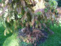Kuningamia chińska (Cunninghamia lanceolata) : 20.IX.2010