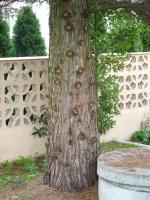 Mamutowiec olbrzymi (Sequoiadendron giganteum) : 20.X.2010