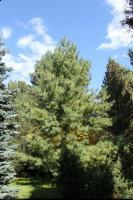 Sosna Schwerina (Pinus × schwerinii) : Drzewo (30 października 2010)