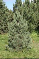 Sosna syberyjska (Pinus sibirica) : Drzewko (3 października 2010)