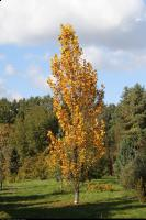 Tulipanowiec amerykański 'Fastigiatum' (Liriodendron tulipifera 'Fastigiatum') : Drzewo (3 października 2010)