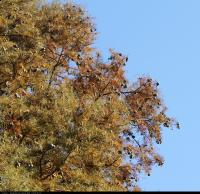 Cypryśnik błotny 'Fastigiatum' (Taxodium distichum 'Fastigiatum') : Szyszki (30 października 2010)