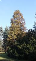 Cypryśnik błotny 'Fastigiatum' (Taxodium distichum 'Fastigiatum') : Drzewo (30 października 2010)