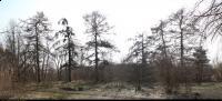 Modrzew europejski (Larix decidua) : Drzewa (13 marca 2011)