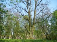 Dąb szypułkowy (Quercus robur ) :