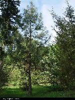 Sosna Coltera (Pinus colteri) :