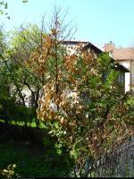Laurowiśnia wschodnia (Laurocerasus officinalis) : Po wielu latach nie może się odbudować, rosnąca obok (prawdopodobnie sadzonki z tej) w ogrodzie niedługo ją prześcignie 2011.05.07