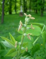 Orzech ajlantolistny (Juglans ailantifolia) : kwiatostan żeński (9.05.2011)