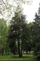 Cyprysik groszkowy (Chamaecyparis pisifera) : Drzewo (17 maja 2011)
