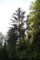 Daglezja zielona (Pseudotsuga menziesii) : Drzewo (19 maja 2011)